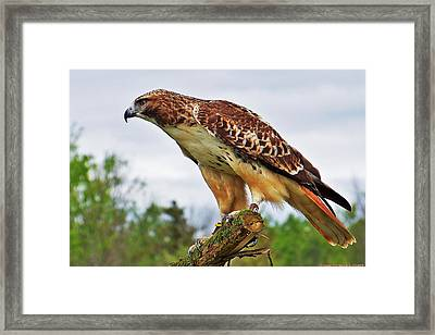 Framed Print featuring the photograph Stays Focused... by Al Fritz