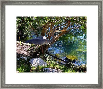 Stealthy Great Blue Heron Framed Print by Judy Wanamaker