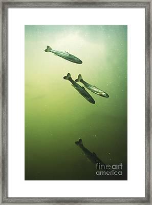 Steelhead Smolts Framed Print by William H. Mullins