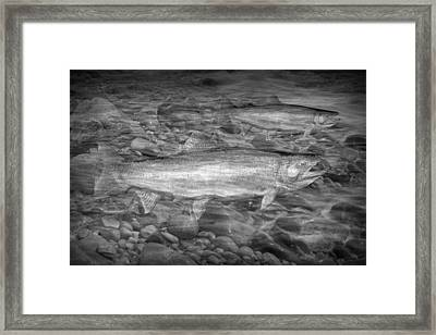 Steelhead Trout Migration Framed Print