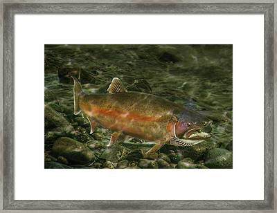 Steelhead Trout Spawning Framed Print