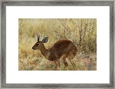 Steenbok Framed Print