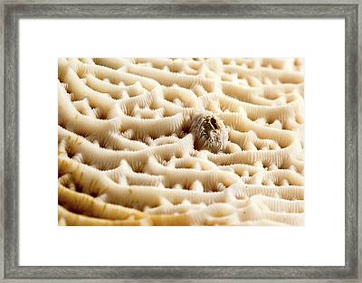 Steganoporella Bryozoan Framed Print