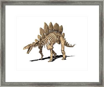 Stegosaurus Skeleton Framed Print