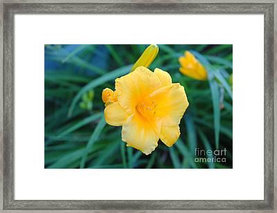 Stella De Oro Daylily Framed Print