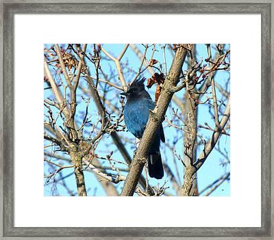 Stellar Jay In Winter Framed Print