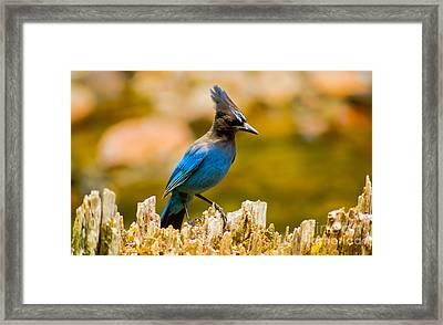 Stellar Jay Framed Print