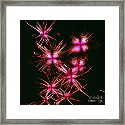Stellate Hairs Of Thorny Olive Framed Print by De Agostini Picture Library