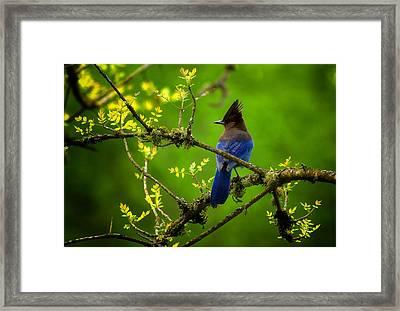 Steller Jay Framed Print by Stuart Deacon