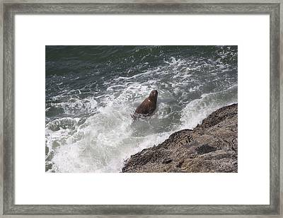 Steller Sea Lion - 0018 Framed Print