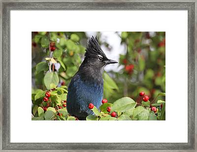 Steller's Jay And Red Berries Framed Print