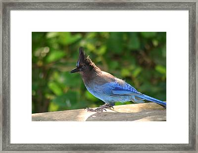 Steller's Jay Sunbathing Framed Print by Kym Backland