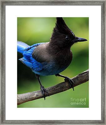 Stellers Jay Framed Print by Wingsdomain Art and Photography