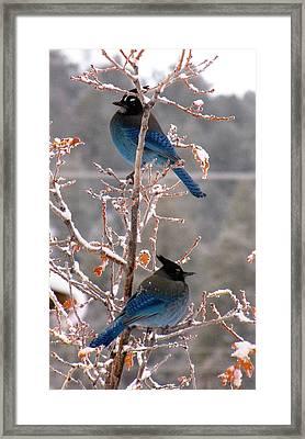 Steller's Jays Framed Print by Feva  Fotos