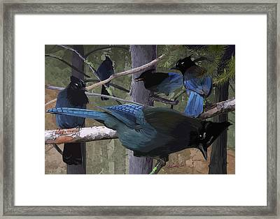 Steller's Jays Framed Print