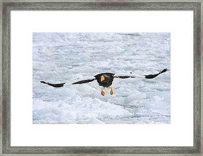 Stellers Sea Eagle Flying Hokkaido Japan Framed Print by Thomas Marent