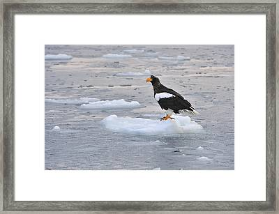 Stellers Sea Eagle On Ice Floe Hokkaido Framed Print by Thomas Marent