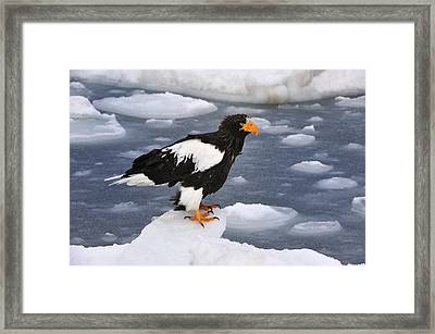 Stellers Sea Eagle On Ice Hokkaido Japan Framed Print by Thomas Marent