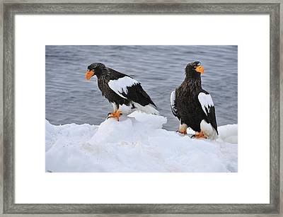 Stellers Sea Eagles On Ice Hokkaido Framed Print by Thomas Marent