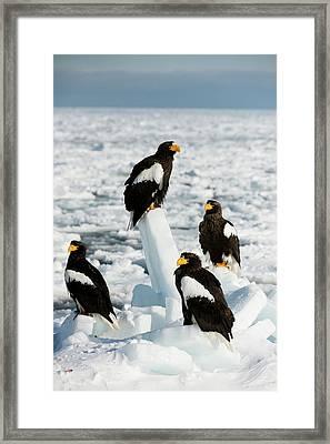 Steller's Sea Eagles On Sea Ice Framed Print