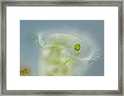 Stentor Ciliate Framed Print by Gerd Guenther