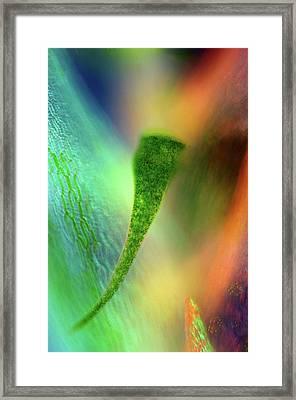 Stentor Protozoan And Sphagnum Moss Framed Print by Marek Mis