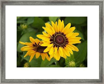 Steve's Sunflower Framed Print