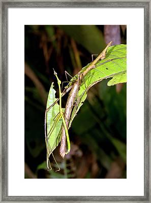 Stick Grasshoppers Mating Framed Print