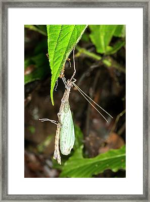 Stick Insect Ecdysis Framed Print