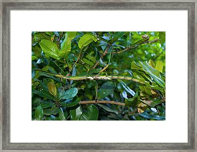 Stick Insect Framed Print by Philippe Psaila/science Photo Library