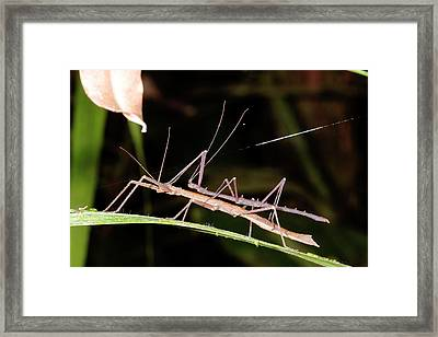Stick Insects Mating Framed Print