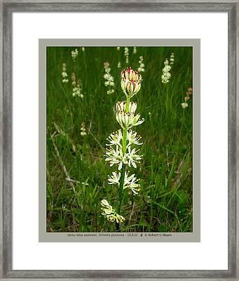sticky false asphodel - Tofieldia glutinosa - 10JL01 Framed Print by Robert G Mears