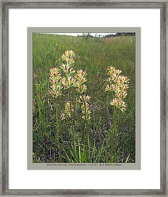 sticky false asphodel - Tofieldia glutinosa - 11JL15-1 Framed Print by Robert G Mears