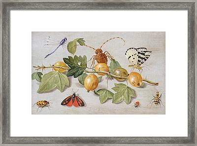 Still Life Of Branch Of Gooseberries Framed Print by Jan Van Kessel
