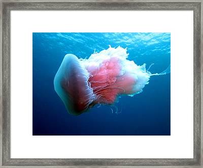 Stinging Beauty Caribbean Sea Framed Print by Laura Hiesinger