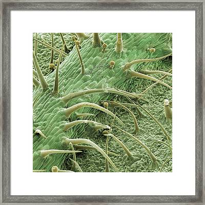 Stinging Nettle Framed Print by Natural History Museum, London