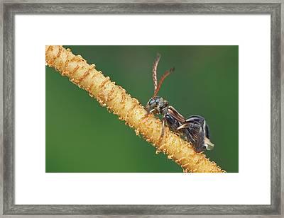 Stingless Bee-mimicking Longhorn Beetle Framed Print