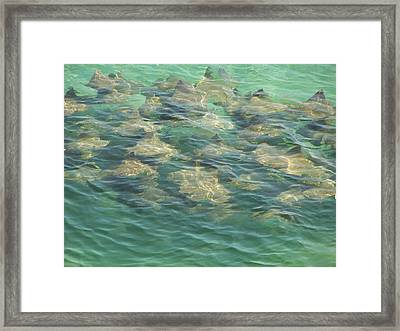 Framed Print featuring the photograph Stingray A by Michele Kaiser