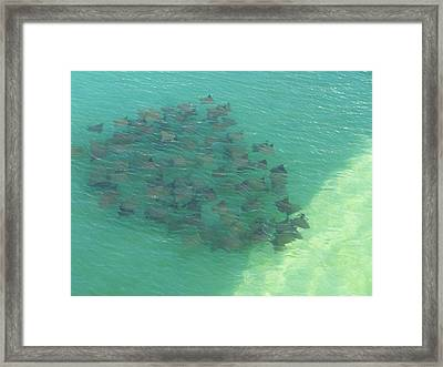 Framed Print featuring the photograph Stingray B by Michele Kaiser