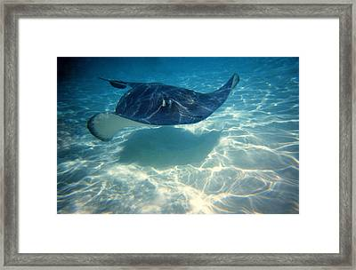 Stingray Framed Print by Mike Flynn