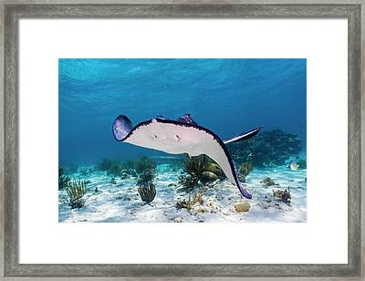 Stingrays In Grand Cayman, Cayman Framed Print