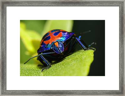 Stink Bug 007 Framed Print by Kevin Chippindall