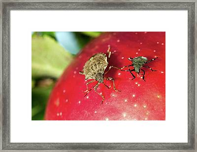 Stink Bug Adult And Nymph Framed Print by Stephen Ausmus/us Department Of Agriculture