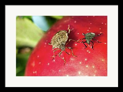 Stink Bug Framed Prints