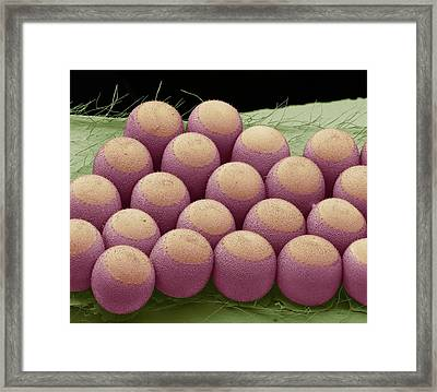Stink Bug Eggs Framed Print