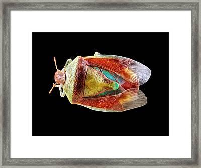 Stink Bug Framed Print by Us Geological Survey