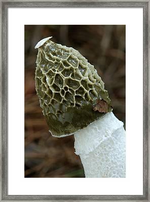 Stinkhorn Fungus Spore Cap Framed Print