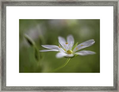 Stitchwort Framed Print