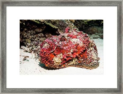 Stonefish After Shedding Cuticle Framed Print