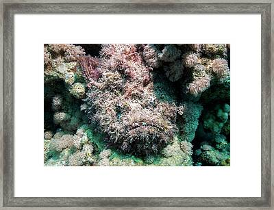 Stonefish Camouflaged On Corals Framed Print